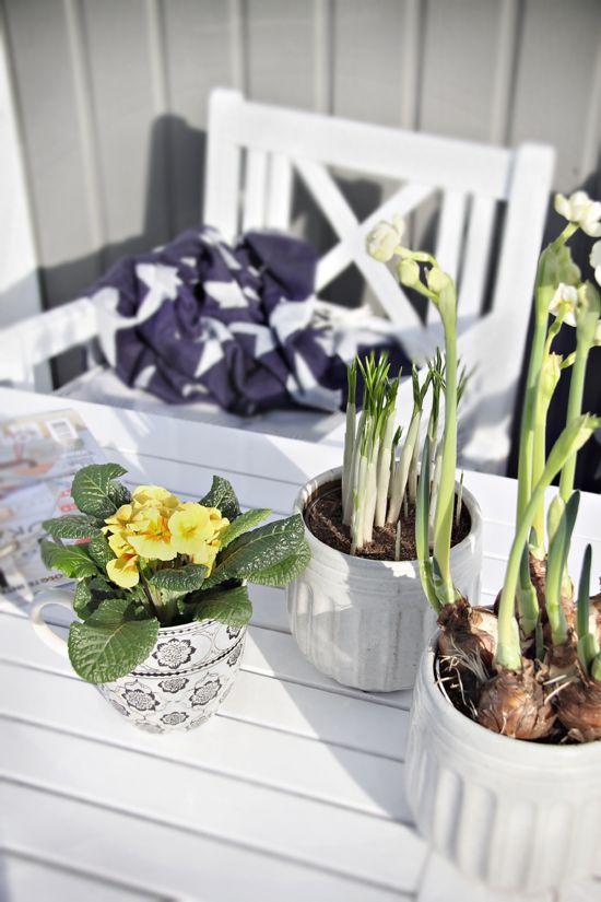 i bulbi primaverili in vaso e le fioriture fresche in un vaso renderanno ogni spazio più simile alla primavera