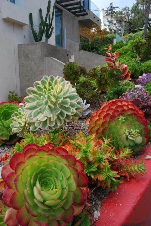 Crassula Capitella è una succulenta molto accattivante in verde e rosso che sarà uno spettacolo nel tuo giardino