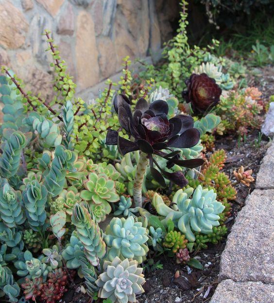 una grande succulenta di colore scuro è accentuata ancora di più da quelle verde chiaro intorno
